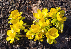 Vorboten des Frühlinges Lizenzfreies Stockbild