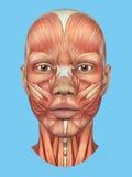 Vorderansicht der Anatomie von bedeutenden Gesichtsmuskeln einer Frau vektor abbildung
