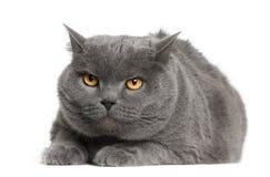 Vorderansicht der Chartreux Katze, hinlegend Stockbilder