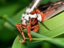 Vorderansicht der orange, weißen und braunen riesigen silk Motte auf grünem g lizenzfreie stockfotos