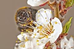 Vorderansicht der Wespe über weiße Blumen des Apfelbaums, Makronahaufnahme lizenzfreies stockfoto
