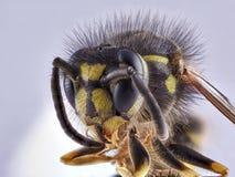 Vorderansicht der Wespe über weißen Hintergrund, Makronahaufnahme stockbilder