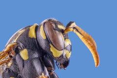 Vorderansicht der Wespe über weißen Hintergrund, Makronahaufnahme lizenzfreies stockbild