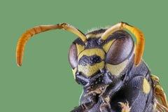 Vorderansicht der Wespe über weißen Hintergrund, Makronahaufnahme lizenzfreie stockfotos