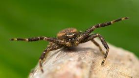 Vorderansicht des aggressiven Spinnenmakroschusses Stockbild