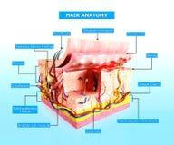 Vorderansicht des cutway Diagramms der menschlichen Haut stock abbildung