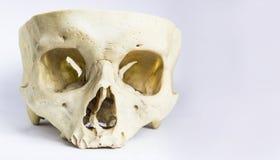 Vorderansicht des menschlichen Schädelknochens ohne die Wölbung des Schädels und des Unterkiefers in lokalisiertem weißem Hinterg Lizenzfreies Stockfoto
