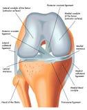 Vorderansicht des rechten Knies in der Biegung Stockbild