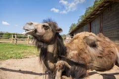 Vorderansicht des sitzenden Bodens des gekrümmten Kamels zwei stockbild