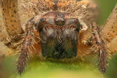 Vorderansicht des Spinnenmakroschusses Lizenzfreie Stockfotos