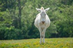 Vorderansicht eines dozily weißen Esels, der in einer blumigen Wiese steht lizenzfreies stockfoto