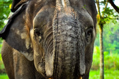 Vorderansicht eines indischen Elefanten Lizenzfreies Stockbild