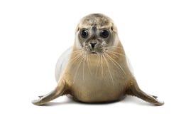 Vorderansicht eines Seehunds, der, die Kamera betrachtend liegt Stockfoto
