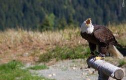 Vorderansicht eines Weißkopfseeadlers, der auf Waldhuhn-Berg in Vancouver, Kanada schreit Stockfotos