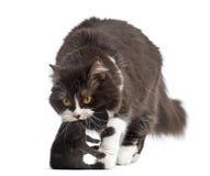 Vorderansicht von britischem langhaarigem, ein eine-Wochen-altes Kätzchen tragend Stockfotos