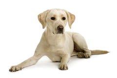 Vorderansicht von Labrador, hinlegend Lizenzfreies Stockfoto
