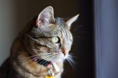 Vorderansichtabschluß oben der Katze, die weg in Abstand anstarrt stockbilder