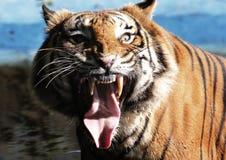 Vorderansichten des Tigers öffnet den Mund am Zoo lizenzfreie stockbilder