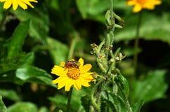 Vordere Winkelsicht einer schwarzen und gelben Biene ähnlichen Fliege, die Nektar von einem schönen gelben Wildflower in Thailand lizenzfreie stockbilder