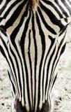Vorderes Gesicht des Zebras Stockfoto