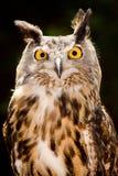 Vorderes Portrait der eurasischen Adlereule Stockfotos
