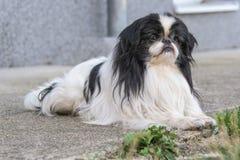 Vorderes Profil eines Schoßhunds mit langem Schwarzweiss-Pelz Lizenzfreie Stockfotos
