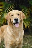 Vorderteil des goldenen Apportierhunds Lizenzfreies Stockbild