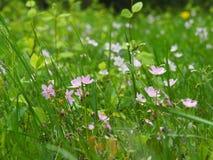 Vorfrühlings-rosa Blumen Stockbild