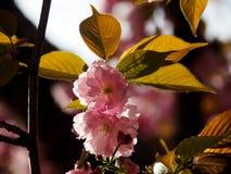 Vorfrühlings-rosa Blumen Stockfotografie