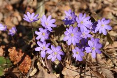 Vorfrühlingsblume Hepatica-nobilis lizenzfreies stockfoto