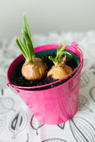 Vorfrühlingsfrühlingszwiebeln, die in einem hellen rosa Topf wachsen Stockfotos
