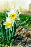 Vorfrühlingsnarzissenblume, attraktive Zierpflanze lizenzfreie stockfotos
