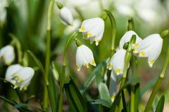 Vorfrühlingsschneeflockenblumen im Wald lizenzfreie stockfotos