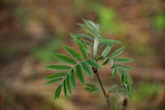 Vorfrühlingstrieb mit kleinen Blättern auf flockigem Wald beleuchten lila Hintergrund Stockfotografie