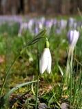 Vorgeschmack des Frühlinges Stockfotografie