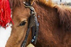 Vorgespanntes Pferd mit einer roten Hauptdekoration Stockfotos
