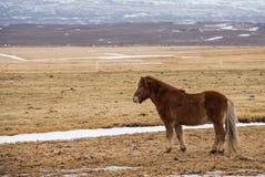 Vorgewählter Fokus auf vorderem isländischem Pferd lizenzfreie stockbilder