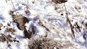 Vorig jaar gras onder sneeuw in ijzige de lentedag stock video