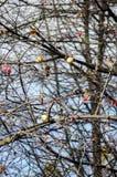 Vorige herfst appel Stock Afbeeldingen