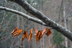 Vorige herfst bladeren op de tak Stock Afbeelding
