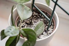 Vorm het groeien op een grond in de bloempot met de huisinstallatie Jonge hoya installatie in vochtig stock afbeelding