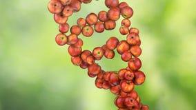 Vorming van DNA DNA-de bundels worden geassembleerd van rode appelen 4K stock video