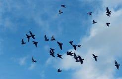 Vorming van vliegende duiven tegen de achtergrond van de zonnige hemel Royalty-vrije Stock Afbeeldingen