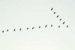 Vorming van vogels tijdens de vlucht Royalty-vrije Stock Foto's