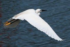 белизна voronezh природы цапли egret зоны русская Стоковое Изображение RF
