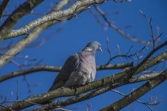 Vorrat-Taube, die auf einer Niederlassung sitzt Stockfotos
