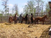 Vorsichtige Pferde Stockfoto