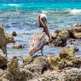 Vorsichtiger Pelikan, der auf dem Riff steht Lizenzfreies Stockbild