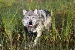 Vorsichtiger Wolf Lizenzfreie Stockbilder