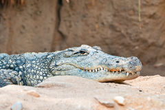 Vorsichtiges Krokodil Stockfoto